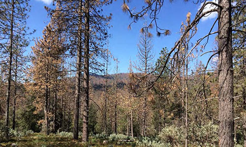 Tree mortality following a bark beetle outbreak in the Sierra Nevada in California. U.S. Forest Service photo by C. Fettig.