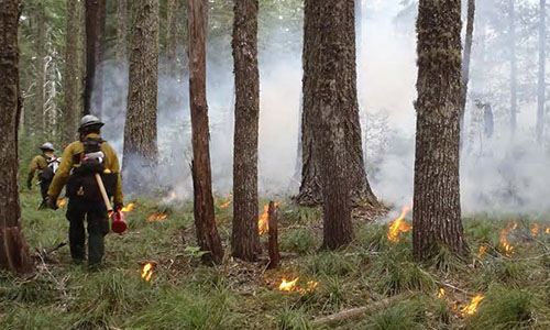 Fire personnel on the Six Rivers National Forest in California conducting a prescribed cultural burn on a strategic ridge along a road to improve opportunities for future wildland fire response and Tribal gathering access. U.S. Forest Service photo by Frank Lake.