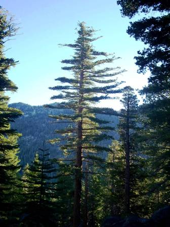 Most Likely To Questions >> Sugar Pine | Tahoe Science | PSW Research Station | Forest ...