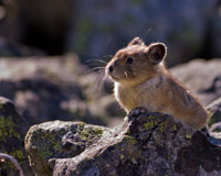 American Pika and Climate Change