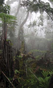 Photo of Hawaiian forest