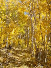 Photo of quaking aspens in fall
