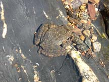 Photo of a foothill yellow legged frog