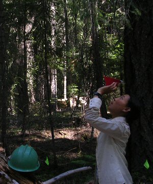 Canopy assessment in a dense mixed-conifer stand