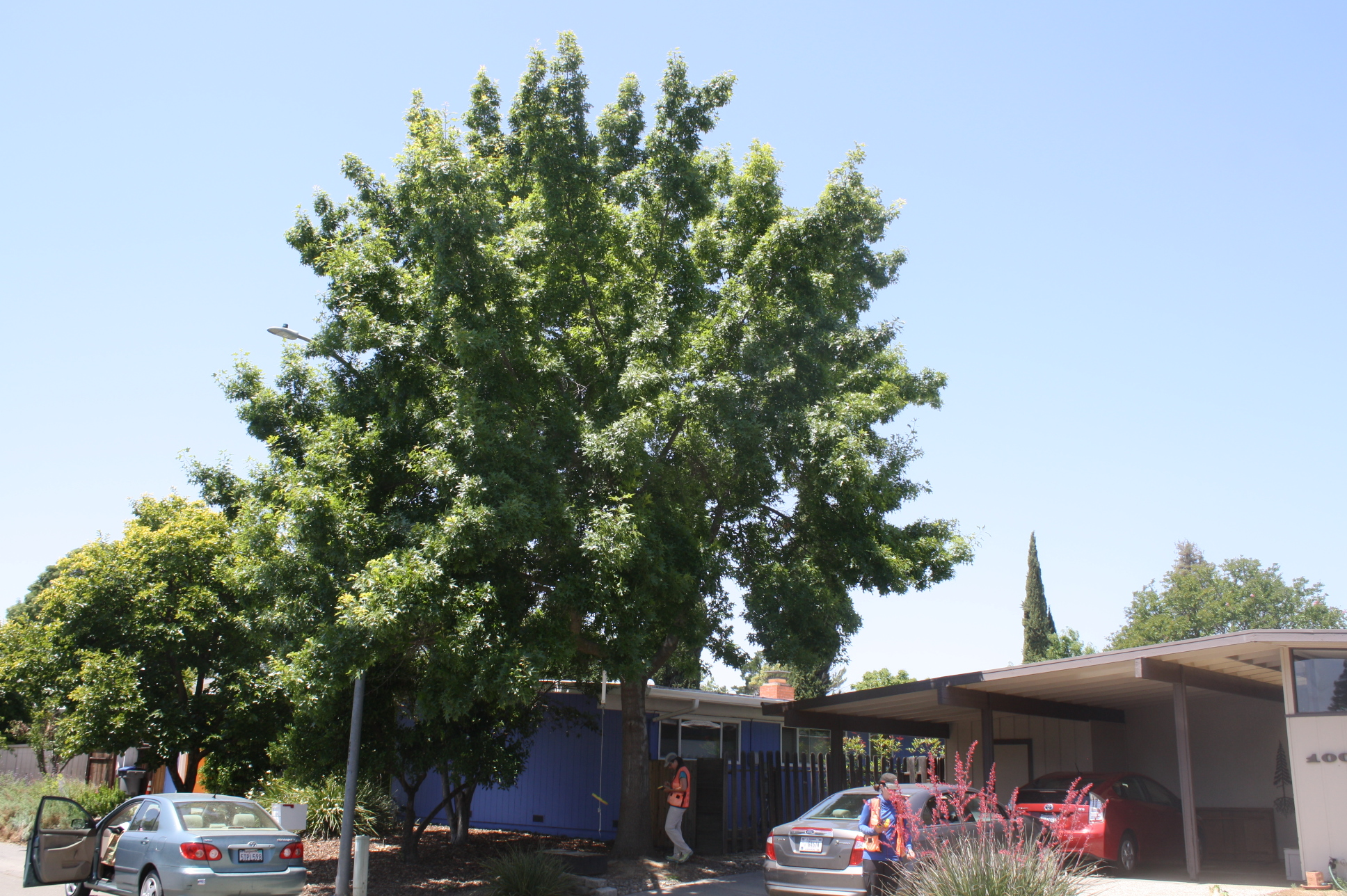 17-year old Texas red oak (Quercus buckleyi) in Davis, CA (photo courtesy, USFS PSW).