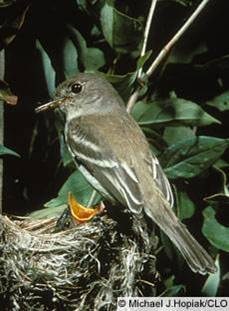 Willow Flycatcher - Empidonax traillii. Copyright Michael J. Hopiak, CLO
