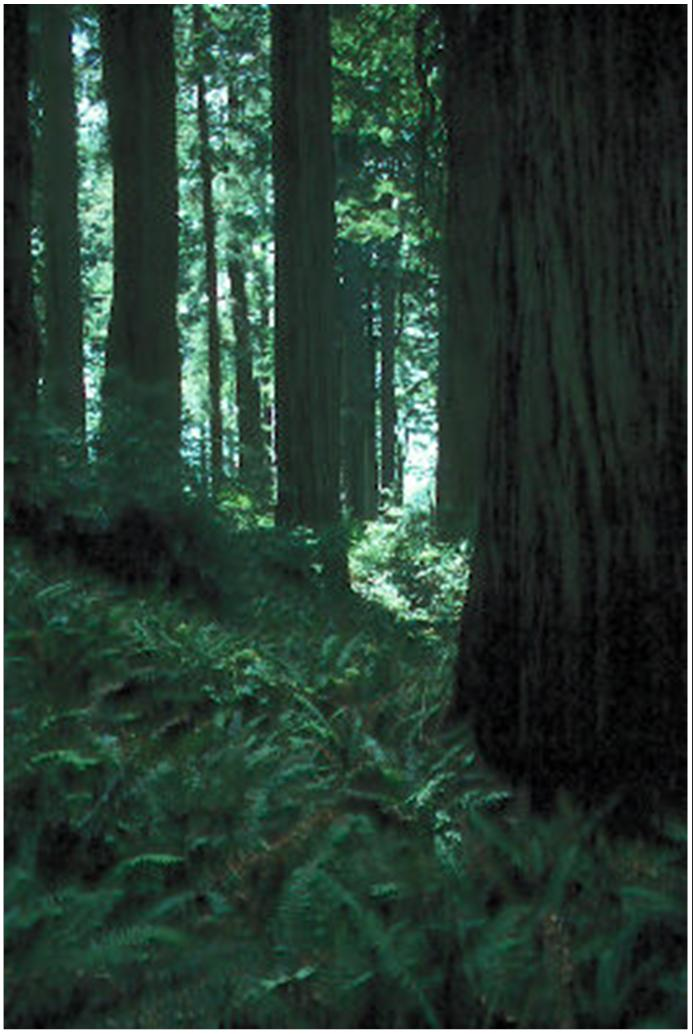 Old-growth Redwood Forest