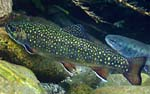Picture of Brook Trout (photo credit Mary Edwards)