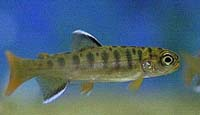 Picture of a juvenile coho salmon