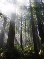 Picture of redwood forest in Del Norte Coast Redwoods State Park
