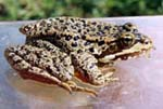 Picture of Cascades Frog
