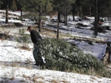 Photo of man pulling his cut tree to his car at Christmas tree cutting area