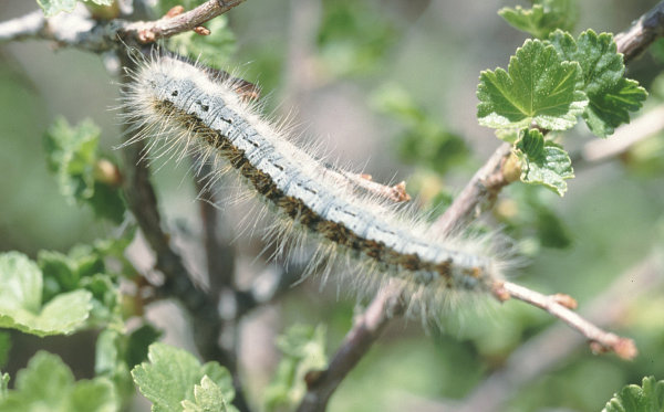 Larva of western tent caterpillar. & Western Tent Caterpillar - Field Guide to Insects and Diseases of AZ ...