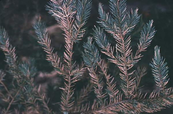 Cooley Spruce Gall Adelgid Field Guide To Insects And