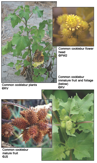 Common cocklebur - Field Guide of Invasive Plants and Weeds