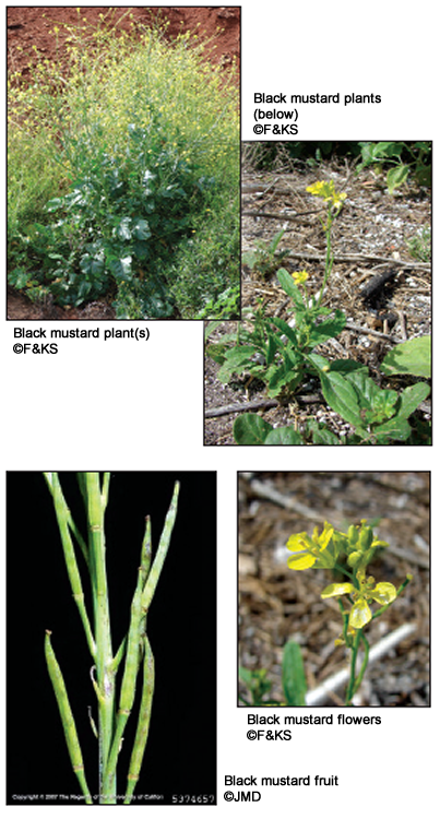 Black Mustard - Field Guide of Invasive Plants and Weeds in