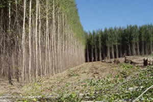 Hover to pause, click to view — Biomass Potential of Poplar Energy Crops in Minnesota and Wisconsin Assessed