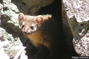 Hover to pause, click to view — Conserving Martens, Sables, and Fishers