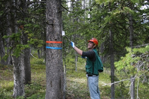 Hover to pause, click to view — Beetle Pheromones Save Endangered Pines From Bark Beetles