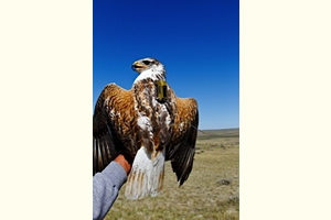 Hover to pause, click to view — The Effects of Energy Development on Hawks and Golden Eagles Documented