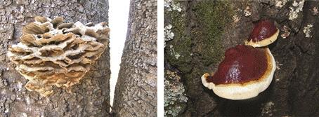 Hover to pause, click to view — Research Demystifies Wood Decaying Fungi