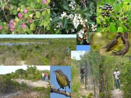 Hover to pause, click to view — Winter Ecology and Conservation Implications for the Endangered Migrant Kirtland\'s Warbler in the Bahamas