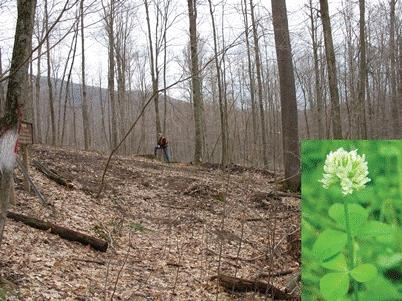 Hover to pause, click to view — Endangered Running Buffalo Clover Finds a Home in West Virginia