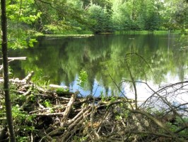 Click to view — Landscape-scale Effects of Beaver Removal on a Managed Forest