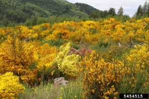 Click to view — New Herbicides Developed to Fight Scotch Broom