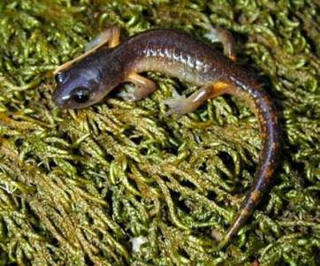 Hover to pause, click to view — Woodland Salamanders are Indicators of Redwood Forest Recovery