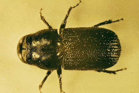 Hover to pause, click to view — Mountain Pine Beetle\'s Ability to Cope with a Changing Climate Depends on Genetics