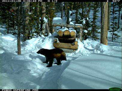 Hover to pause, click to view — Study Guages the Response of Wolverines to Winter Recreation