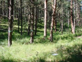 Hover to pause, click to view — Ponderosa Pine Understory Vegetation Recovers Quickly Following Timber Harvest