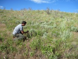 Hover to pause, click to view — Climate Regulates Mountain big Sagebrush Recovery After Fire