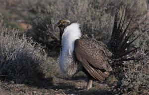 Click to view — New Research on Resilience of Sagebrush Ecosystems Used for Improving Sage-grouse Habitat