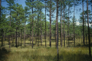 Hover to pause, click to view — Comparing Reproduction Techniques for Longleaf Pine Forests