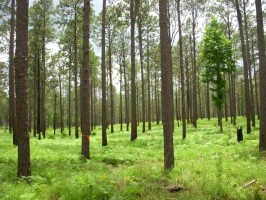 Hover to pause, click to view — Quantifying and Managing Carbon Sequestration in Longleaf Pine Ccosystems.