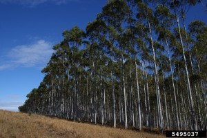 Click to view — Forest Service Scientists Assess Potential Impacts of Eucalyptus on Water Resources in the Southern U.S.