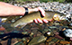 Westslope cutthroat trout, National Forest Foundation