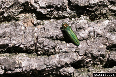 Emerald Ash Borer on ash tree