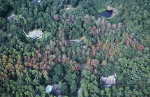 Southern pine beetle in urban forest