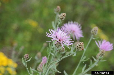 Spotted knapweed, an invasive species