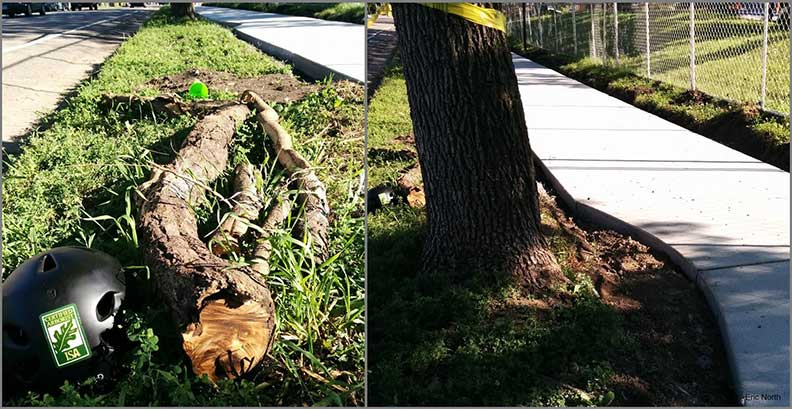 Left: Cut tree limbs on the grass. Right: A sidewalk cut around a tree trunk.