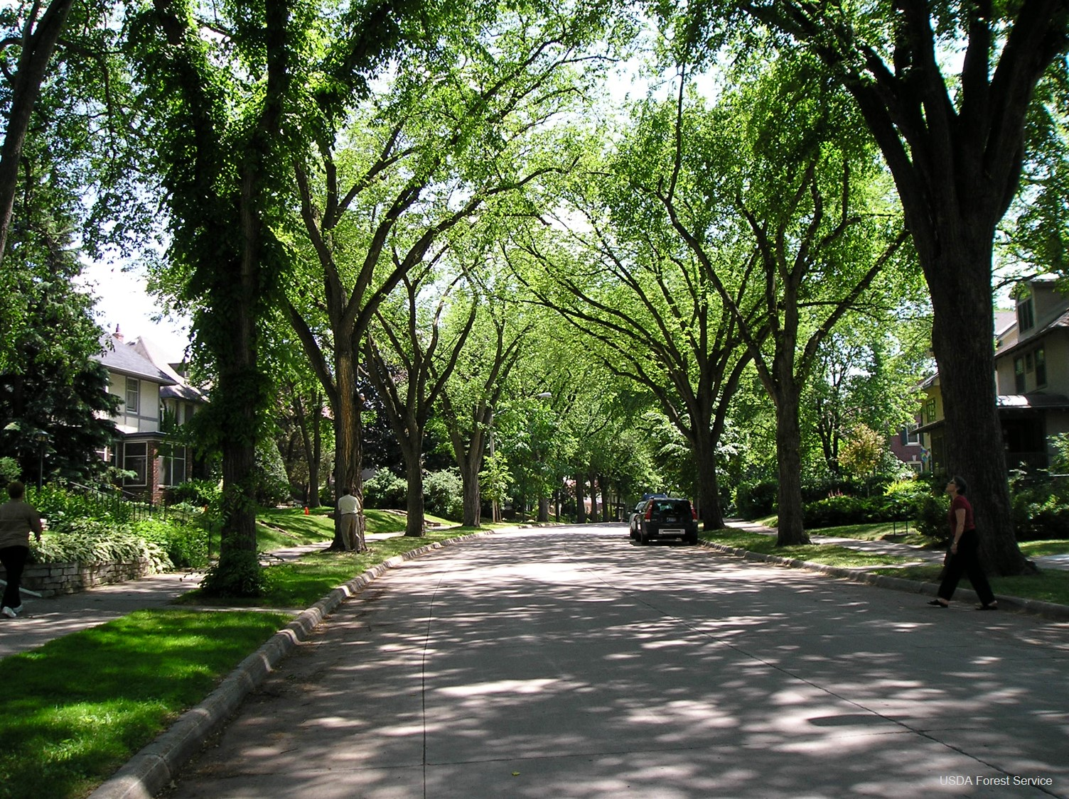 Elm trees line a residential street