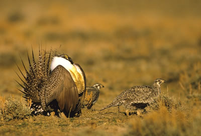 Sage grouse male strutting towards female on a lek