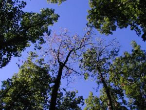 Picture looking upward into the canopy of a forest with oak trees demonstrating signs of oak wilt.