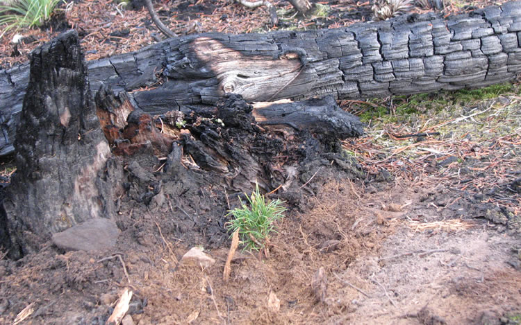 A planted white bark pine seedling in a burn area.