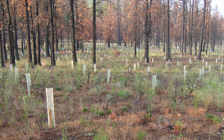 Planted trees in tubular tree shelters on a burned area.