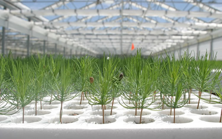 Ponderosa pine seedlings in a seed nursery.