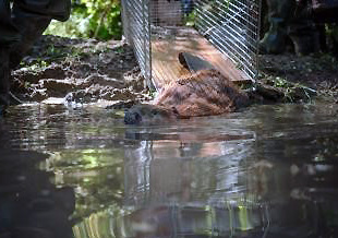 A beaver being released onto 